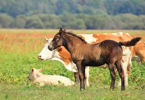 Чужих детей не бывает: корова усыновила жеребенка, оставшегося без мамы