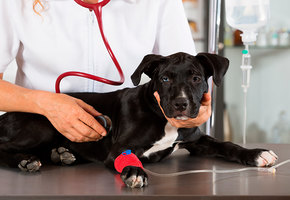 Хозяин попросил ветеринара усыпить пожилую собаку. Но врач решил по-другому