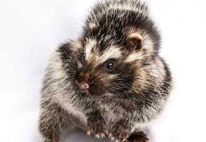 Страшный хомяк: зоологи нашли единственного в мире ядовитого грызуна