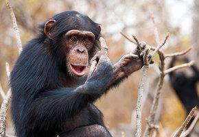 Сотрудница зоопарка позвонила по видео шимпанзе, чтобы показать своего малыша