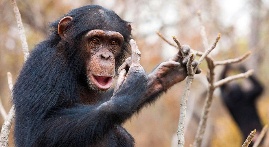 Дружба навсегда: сотрудница зоопарка созвонилась повидео сшимпанзе, чтобы показать новорожденного сына