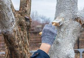 Белить или не белить деревья осенью?