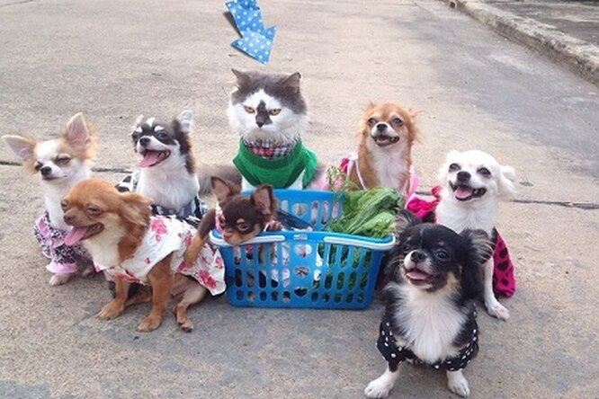 Мир покорил кот, взявший шефство над семью собачками чихуахуа