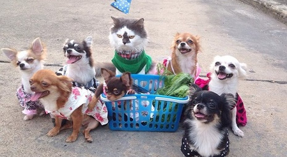 Мир покорил кот, взявший шефство надсемью собачками чихуахуа