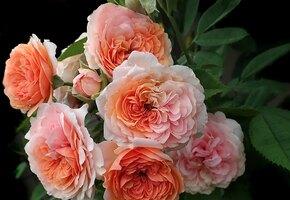 Королева цветов: чем хороши для вашего сада знаменитые английские розы?