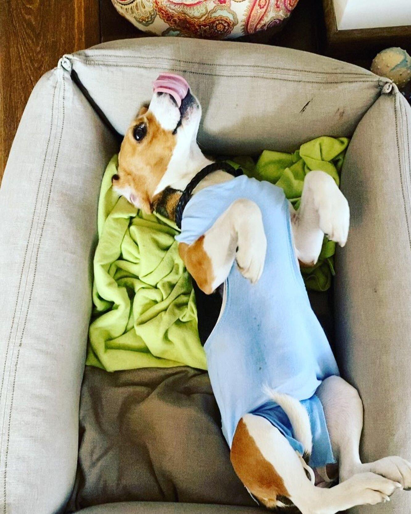 собака в хирургической попоне, бигль