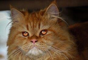 «Почему без намордника»: сибирский кот держит в страхе деревенских собак