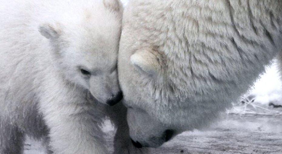 У белой медведицы вНовосибирском зоопарке снова родились медвежата. Очень милые!