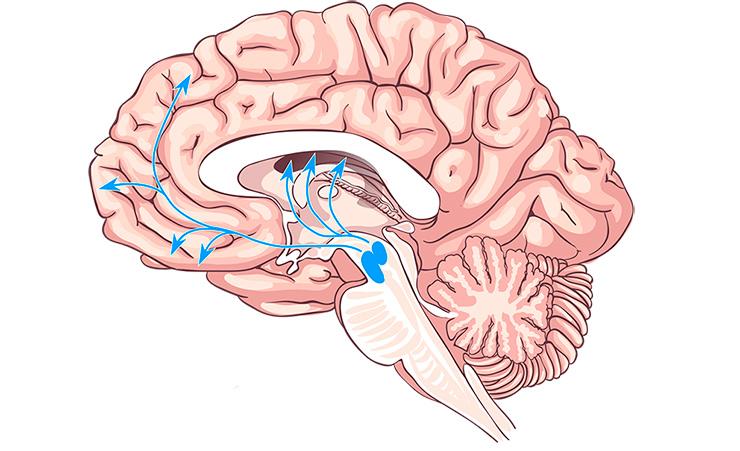Основные дофаминовые пути